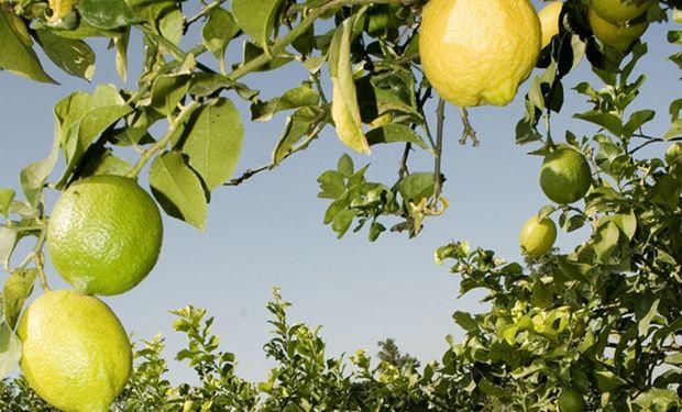Estados Unidos publicó la propuesta de norma para autorizar la importación de limones desde la región del NOA.
