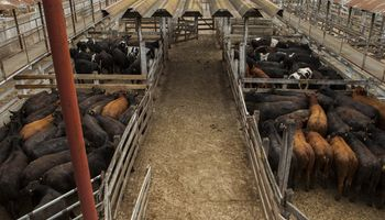 Liniers: la demanda por lotes de toros y vacas dejó topes importantes