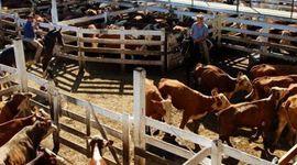 Liniers:  la demanda mostró interés por las categorías de vacas y los precios crecieron