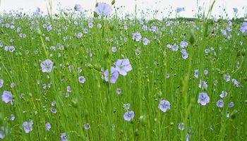 Entre Ríos: menos área de siembra para el lino y hay incertidumbre por el rendimiento