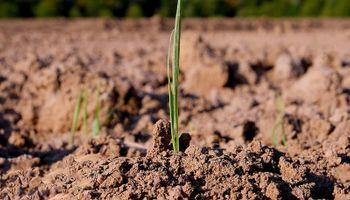 Las últimas lluvias han dejado los suelos aptos para el trigo: cómo sigue ahora el tiempo