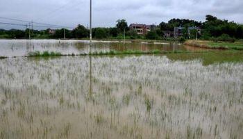 Peligrarían 600.000 hectáreas de trigo por las inundaciones