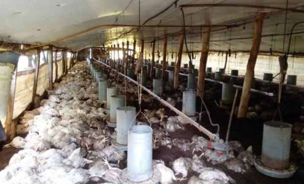 Unos 3.000 pollos terminaron ahogados.