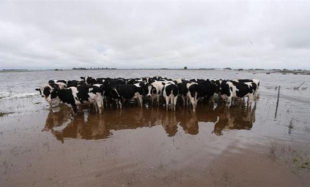 Las vacas de tambo, con graves problemas de producción por los anegamientos en General Villegas. Foto: Archivo