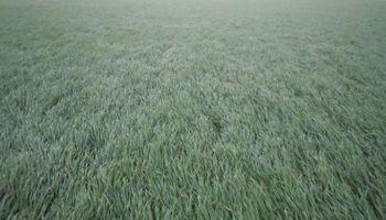 Lluvias oportunas para el trigo y el maíz en la zona núcleo