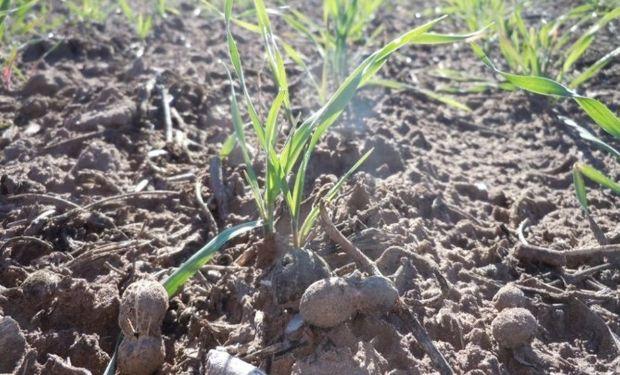 Los lotes de trigo ya implantados pudieron recuperar condición de humedad para transitar las primeras etapas de su ciclo vegetativo.