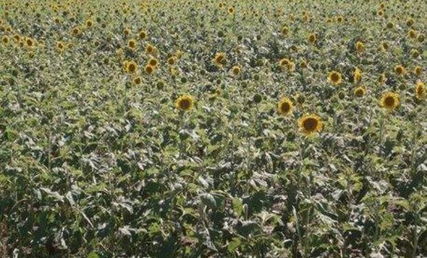 Lote de Girasol, con buen desarrollo, comienzo de floración, en el centro del departamento General Obligado.-