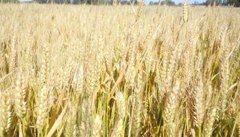 Los números del trigo en el centro norte de Santa Fe