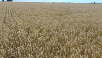 Estados Unidos aumenta sus compras de trigo a la Argentina
