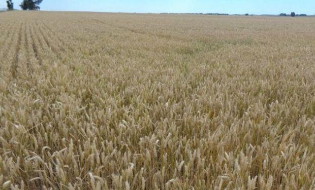 Estados Unidos volvió a comprar trigo argentino.
