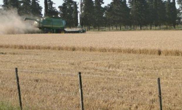 Lote de trigo, en pleno proceso de cosecha, en el centro oeste del departamento Castellanos.-