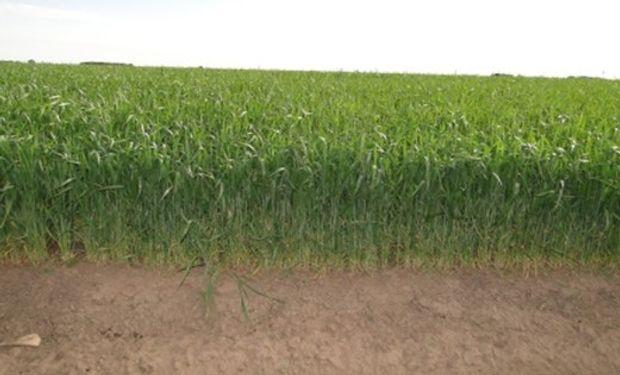 Lote de trigo sembrado sobre fines de junio, en encañazón y en excelente estado. Máximo Paz,Santa Fe (26-09-14). Gentileza: Ing. Walter Repetto.