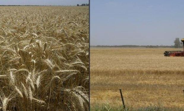 Lotes de trigo en la provincia de Santa Fe. Foto: SEA
