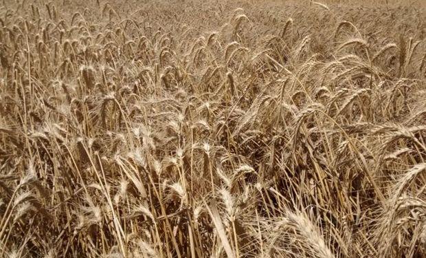 Ayer miércoles se negociaron 5310 toneladas de trigo baja proteína por un valor de 2200 $/tonelada también con entrega en Bahía Blanca.