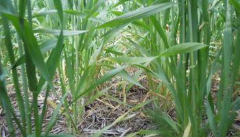 Semana positiva para los cultivos de trigo en Santa Fe