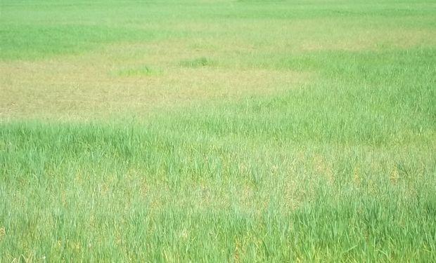 Alerta amarilla para maíz y trigo