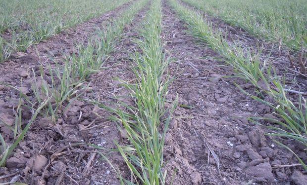 Ajustadas reservas de humedad complican al trigo