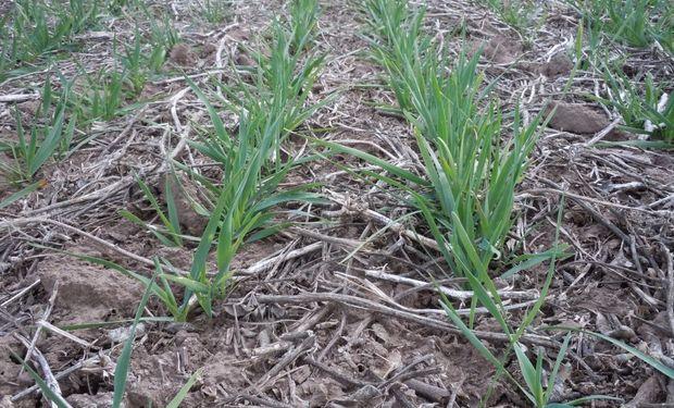Estiman que caerá la siembra del cultivo 2015/16 un 10%.