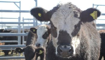 Interés y precios destacados en lotes de vacas