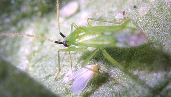 Lanzan Minecto Pro, la nueva tecnología para controlar mosca blanca y trips