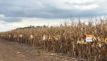 El plan del líder en soja para crecer fuerte en maíz