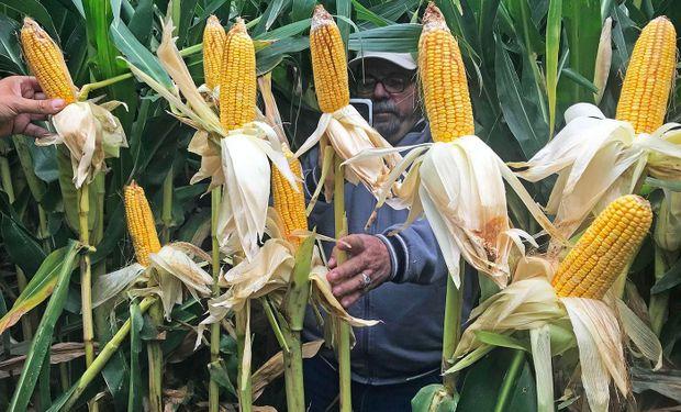 ¿Es posible hacer maíces de 180 quintales por hectárea en la Patagonia?