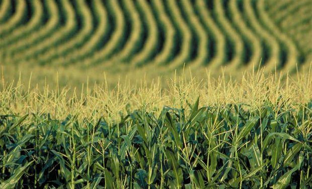 Se habilitaron licencias de exportación de maíz por 2,23 millones de toneladas
