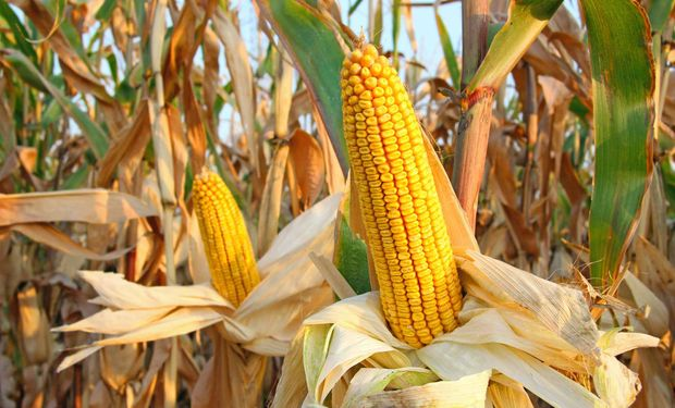 Abordará las perspectivas de mercado y cuestiones agronómicas tales como ajustes en manejo