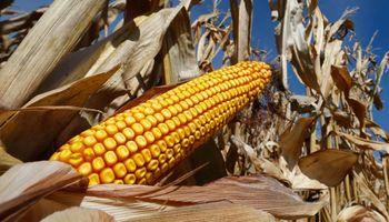 Unicornio de retenciones: el maíz aportaría al Gobierno US$ 1.000 millones por primera vez en la historia