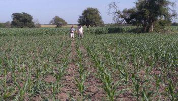 Maíz: la baja densidad de siembra es una alternativa para mejorar los rendimientos en ambientes con bajo potencial
