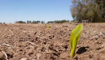 Año del maíz: con una superficie récord, la campaña espera superar los 54 millones de toneladas