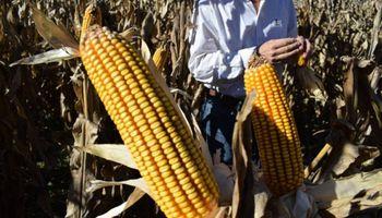 Retenciones y cupos: analizan el margen del maíz bajo tres escenarios posibles