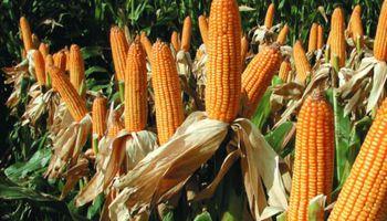La cadena del maíz y el sorgo en el nuevo escenario mundial