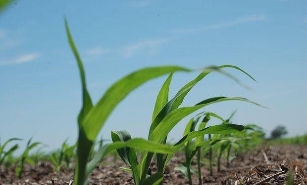 Avanza la siembra de maíz en la zona centro