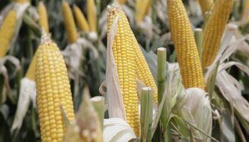 Los proyectos del maíz para conquistar la Patagonia y el NEA