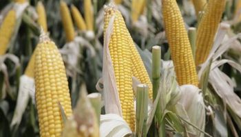 Futuros y opciones: el MATBA alcanzó un récord gracias al maíz y el trigo