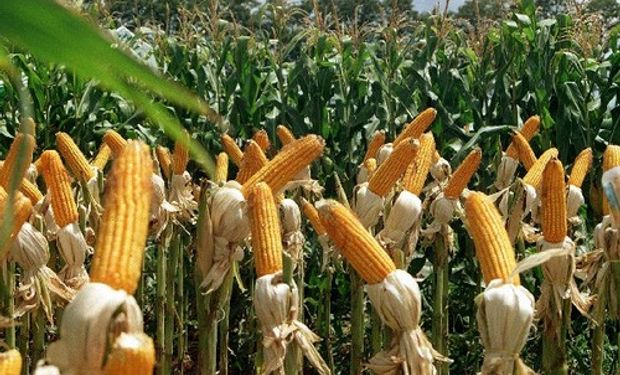 La producción de maíz en Córdoba es la mayor del último quinquenio
