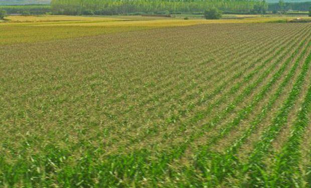 Se espera una producción de 25 millones de toneladas de maíz