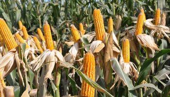 Se consolida una buena campaña del maíz en el centro y norte de Santa Fe