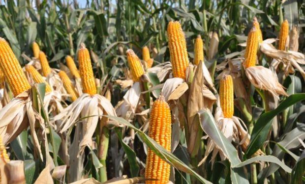 En lo que respecta al maíz de primera ya se han cosechado unas 30.000 hectáreas (de un total de 89.000).