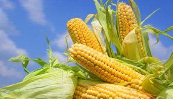 Los desafíos del maíz y los pedidos de los productores en una campaña récord