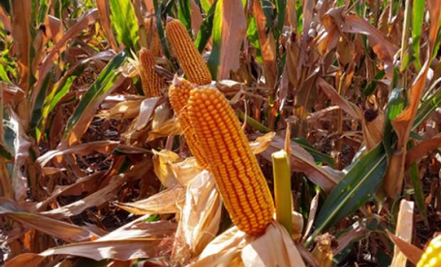 El maíz operó levemente en alza por compras técnicas de cobertura de posiciones cortas.