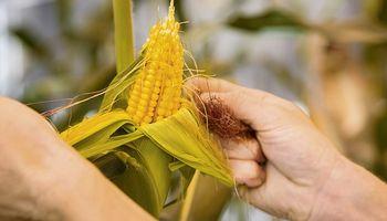 BASF lanza sus nuevas semillas de maíz de alto rendimiento y estabilidad