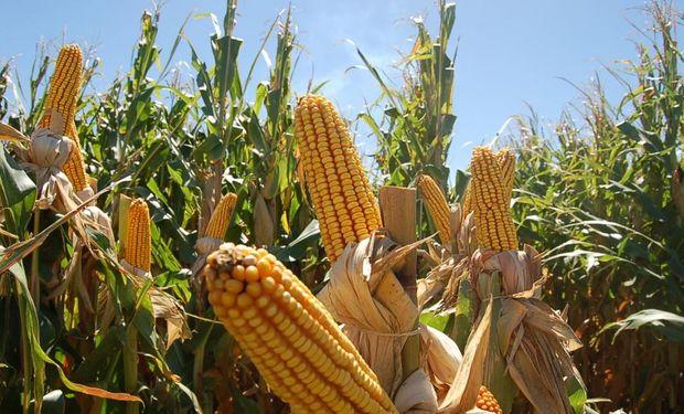 El trigo baja y el maíz sube