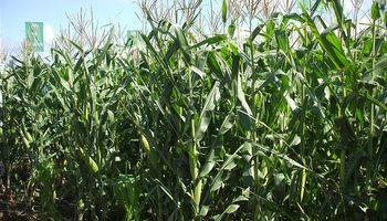 Detectan niveles muy altos de chicharritas en maíz