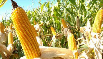 El maíz, otra vez en la mira de los productores