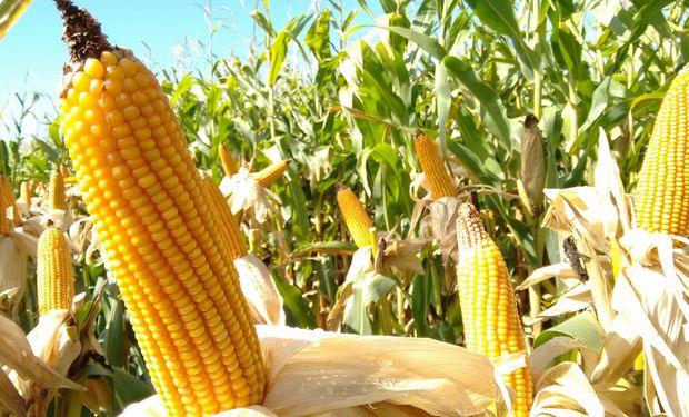 """""""Con la napa cercana, el maíz es un cultivo bastante seguro por más que en primavera aparezca una Niña débil"""""""