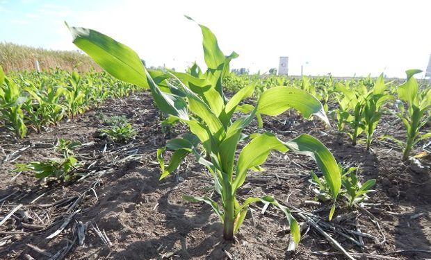 Maíz, uno de los cultivos afectados por las variaciones de temperaturas extremas.