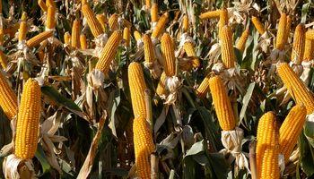El mercado de maíz concentra la atención: pagaron hasta US$ 130 con entrega inmediata