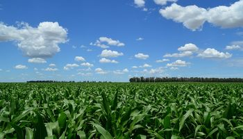 Malezas en maíz: un repaso desde los inicios a la actualidad